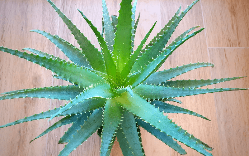 Aloe Arborescens 2 Jahre alte Pflanze