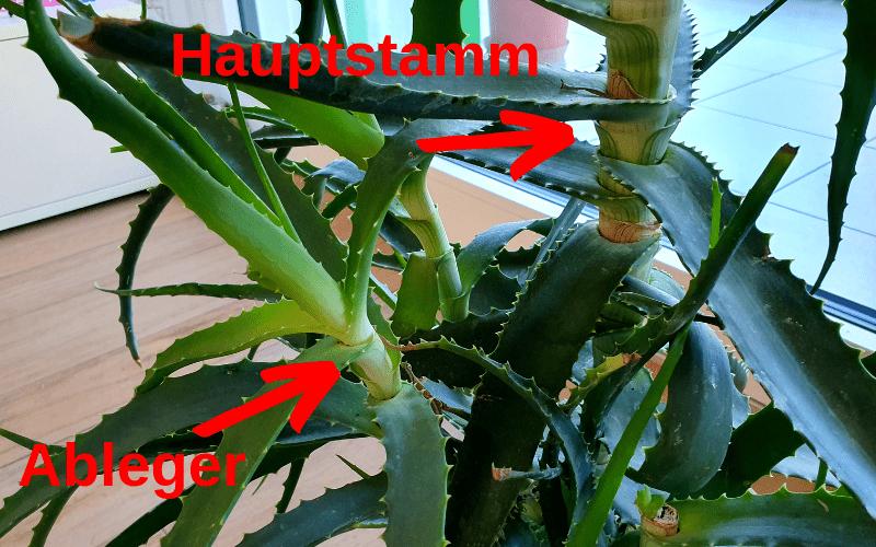 Aloe Arborescens mit Ableger vermehren