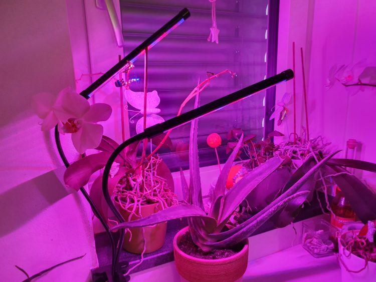 Aloe Vera Pflanze unter Pflanzenlampe im Winter