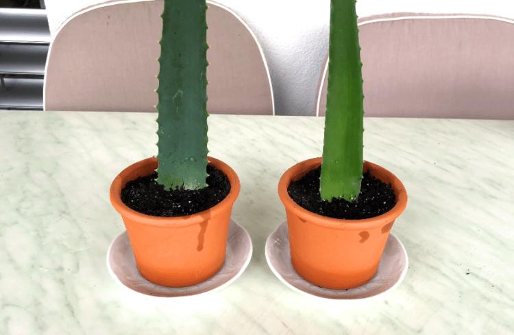 Aloe Vera Stecklinge in Erde